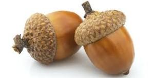 acorn